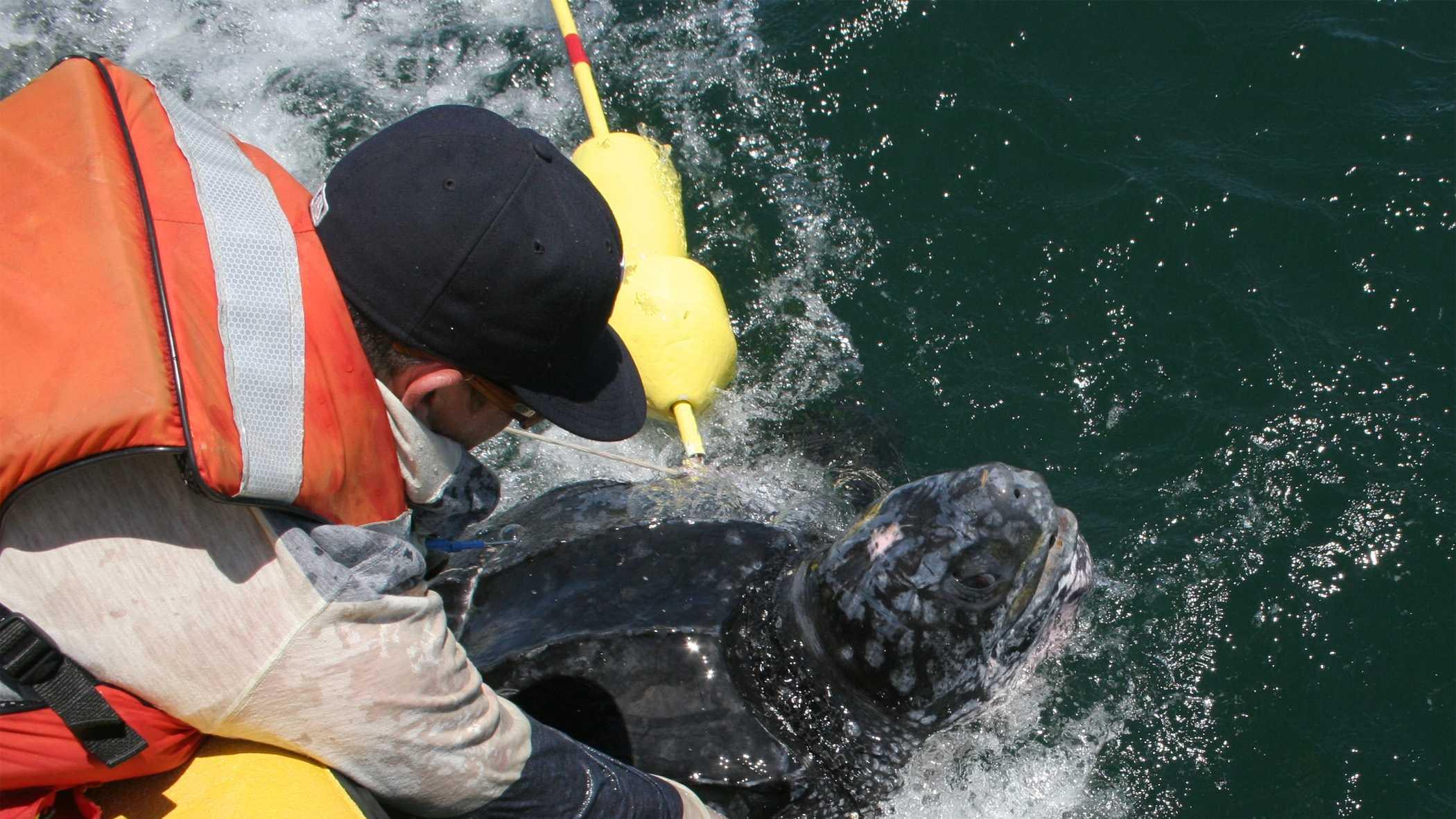 Leatherback turtle released 7.7.14
