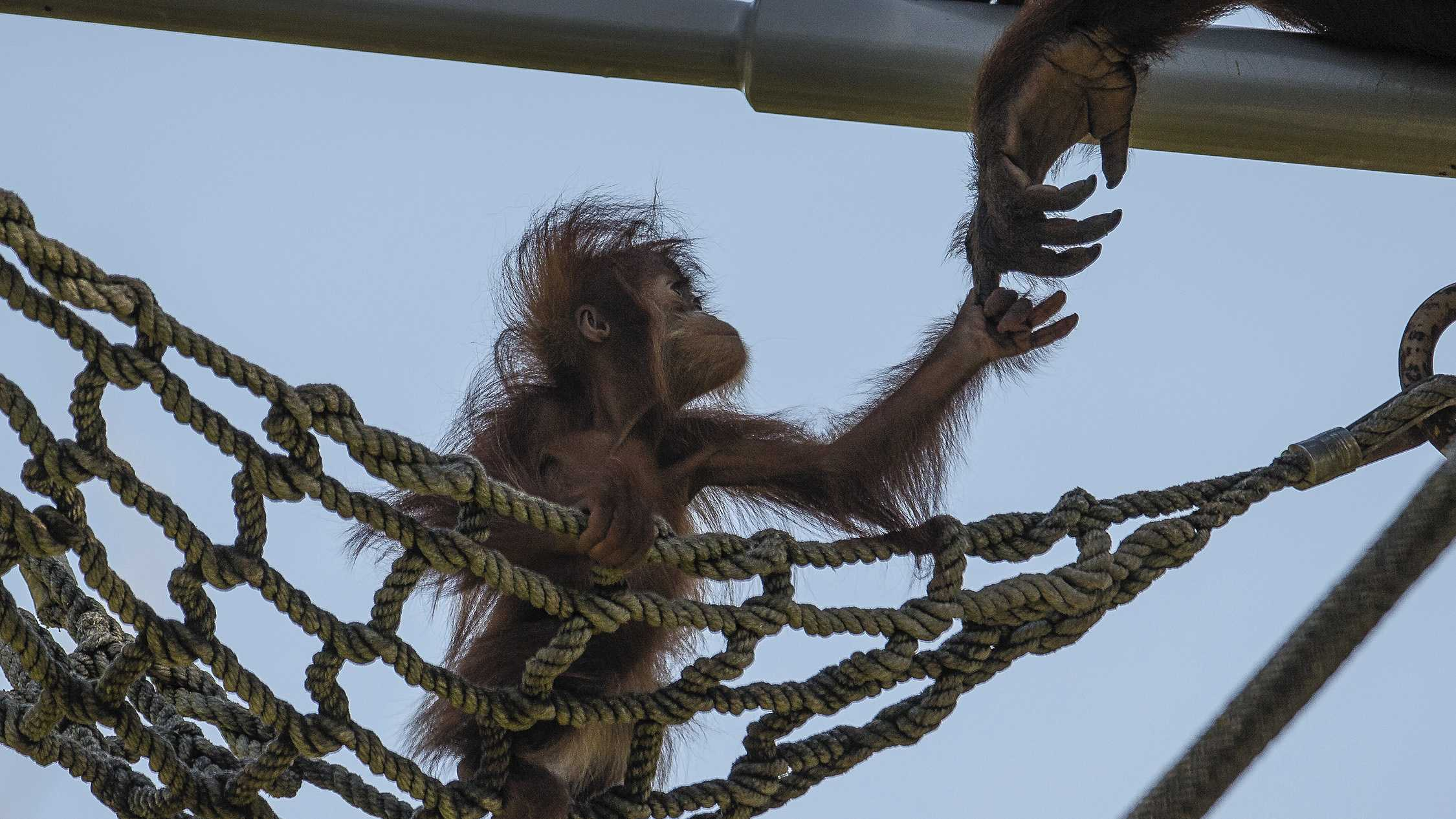 In this photo provided by the San Diego Zoo, an orangutan youngster reaches up to her mother as she explores a net climbing area at the San Diego Zoo in San Diego, on Monday, July 7, 2014. At just a little over 8 months old the playful youngster, named Aisha, is beginning to explore her habitat, never venturing more than 10 feet from her mother.