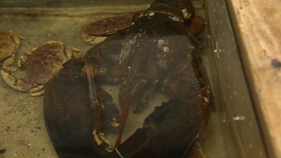 Lobsters typically shed their armor every year, making it hard for biologists to determine how old they are.