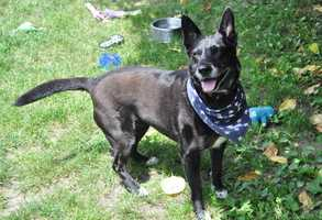 Joy, 6, is an Australian Cattle Dog mix. She is a focused, fun dog that's always up for a challenge. She should not live with cats or small animals. She likes to chase and herd things, including pigeons and squirrels. Click for more.