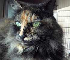 Annie, a 14-year-old tortie, is indoor-only, declawed, very quiet and sweet, preferring to be the only pet in a home with adults. She would like to enjoy peace and quiet in her senior years. Click for more.