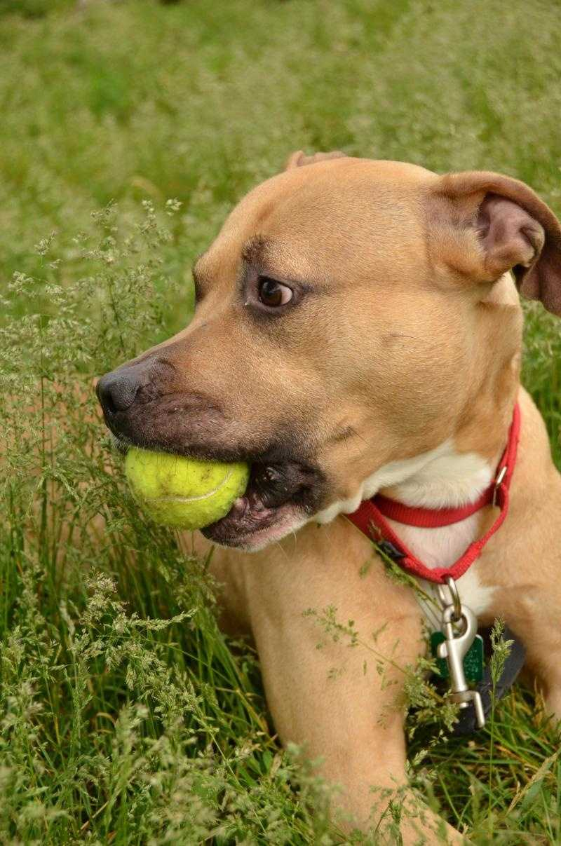 Bermuda, 3, is a shy pitbull looking for a loving home and for some owners that would give her a little bit of training. He would get along well with any other dogs and might do OK with cats, too. Click for more.