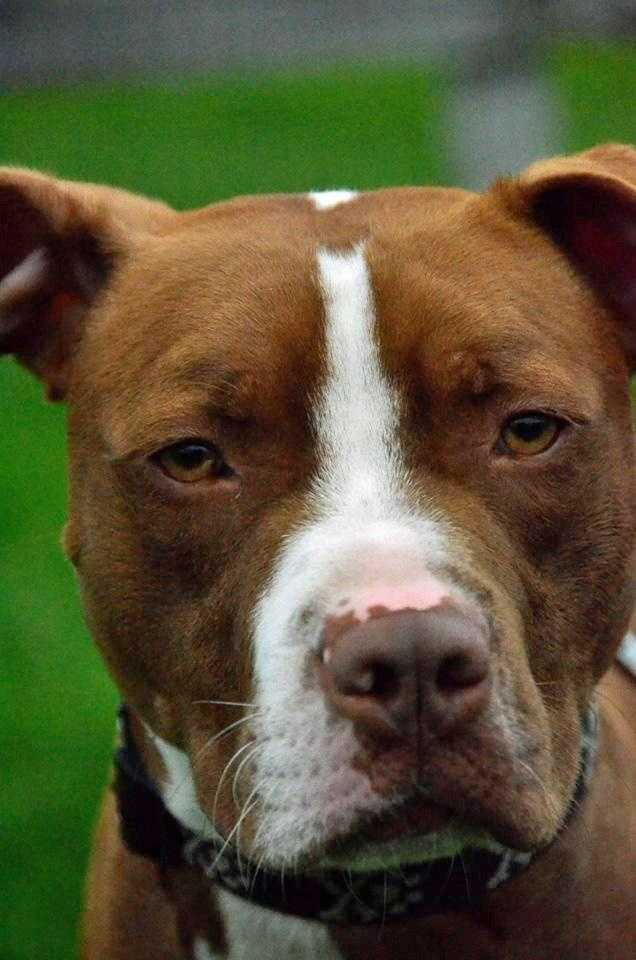 Bones, 1, is an active pitbull looking for a home with no other pets or children. He is playful and energetic who would do best with a family that will continue the training he is receiving at the shelter. Click for more.