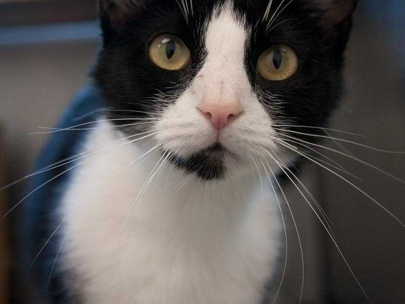 Carolina is a beautiful black and white domestic short hair. She is Felv positive, so she can't go to a home with other kitties who are not positive. Click for more.