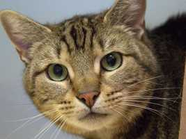 Charlie, 5, would love to live with kids, other cats and dogs. He is an energetic and affectionate boy whose previous owner moved to an apartment that didn't allow pets. Click for more.