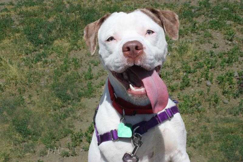 Emma is a 10 month old Pitbull. She has a lot of energy and loves to play. She would need some training. She loves kids, may do OK with other dogs and maybe cats. Click for more.