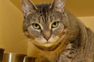 Gabby, 6, loves people and will rub up against you to show affection. She lived with older kids and would love to have someone to play with again. She might be OK with a mellow dog, but would prefer to be the only feline. Click here for more.