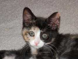 Meet Frannie, Fuji and Figaro! These 3 super cute kittens are in foster with their mom Farrah. More