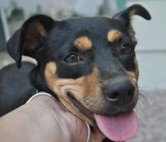 Jazmin is a little tyke! She is a little on the shy side, but very cuddly. She gets along well with other dogs. She is a young dog of medium energy who walks well on leash. More