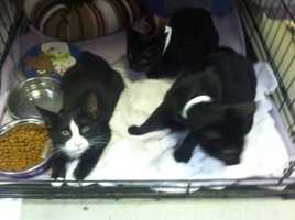 Meet Cookie, Angel, Pepe, Peewee and Junior. These 5 cuties are ready to find their forever homes. They are scared at the shelter so would do better in a home without young kids. They would love to have the company of another cat in their forever home. More