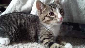 Rocky is one of 4 cuties found outside living in someone's stone wall. All 4 have come a long way, but can still be scared at times. They will need to go to a quiet home without kids that is either an adult only home or home with teenagers. Any family looking to add one of these kittens will need to be patient and give them time to adjust to their new home. But once adjusted, these kittens are very playful and sweet! More