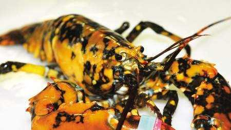 Calico Lobster 7.30.14