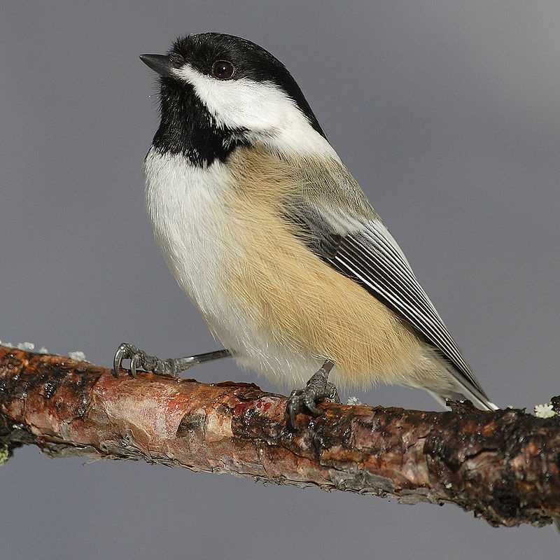 The Chicadee became the Massachusetts state bird in 1941.
