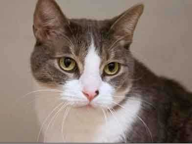 Hector is a very friendly guy. He loves wand toys a lot! He seems like a pretty mellow boy who would be great as a TV watching companion. Since Hector is declawed, he should be an indoor cat only. More info