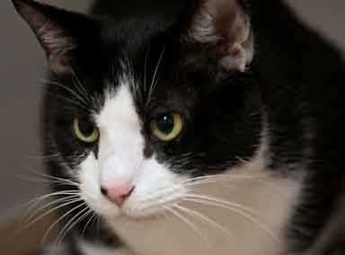 Oreo is a calm, affectionate cat. He leans into you for petting, he will head butt you when he's decided he likes you and is, on occasion, a lap cat too. He loves being brushed, especially on the top of his head, you'll find it is a great way to get acquainted! More info