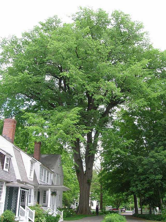 The American Elm became the Massachusetts State tree in 1941