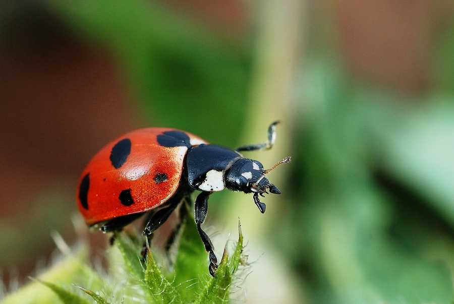 The Lady Bug is the Massachusetts State insect