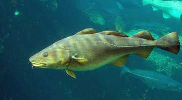 The Cod is the Massachusetts State fish.