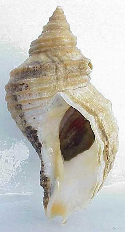 The New England Neptune is the Massachusetts State Shell.