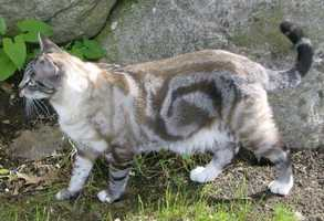 The Tabby Cat is the Massachusetts State Cat.