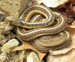 The Garter Snake is the official Massachusetts reptile.