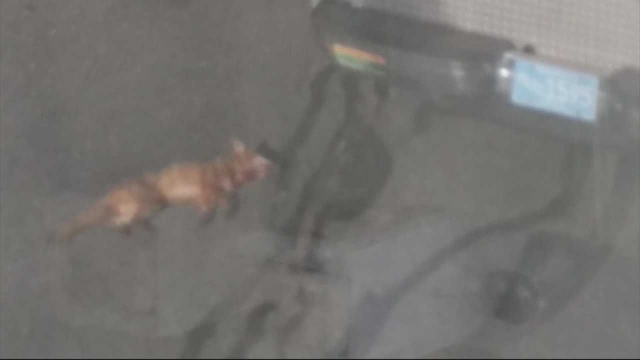 Framingham police kill rabid fox