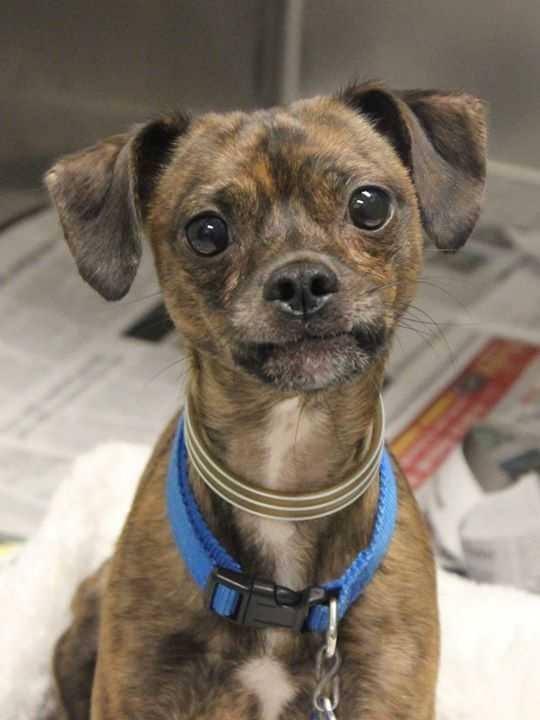My name is Tigger! I am a 1-year-old male Chihuahua-Terrier mix. I came from a home with a lot of animals, and I wasn't getting the care and attention I needed. I am a little nervous here, and I would do best in a quiet, dog-savvy home. With a little bit of patience and some time to settle in, I will be a great companion for my new family. For more information about me, please call, visit, or email the shelter. Buddy Dog Humane Society, Inc. Sudbury, MA (978) 443-6990 or info@buddydoghs.com