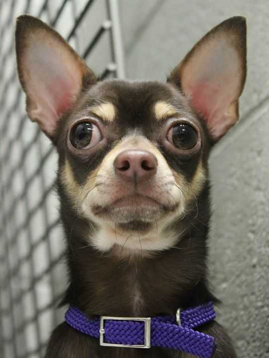 My name is George! I am a 1-year-old male Chihuahua. My family had too many animals to care for, so I can here to find a new home where I can get all the attention. I can be nervous in new situations, so I would do best in a quiet, dog-savvy home. For more information about me, please call, visit, or email the shelter. Buddy Dog Humane Society, Inc. Sudbury, MA (978) 443-6990 or info@buddydoghs.com