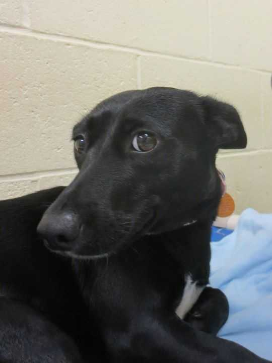My name is Hannah! I am new here, so please call the shelter for more information about me! Buddy Dog Humane Society, Inc. Sudbury, MA (978) 443-6990 or info@buddydoghs.com
