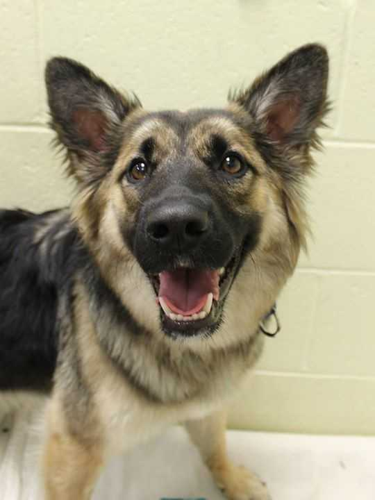 My name is Iggy! I am a 9-month-old female Shepherd mix. I am friendly, playful, and active. For more information about me, please call, visit, or email the shelter. Buddy Dog Humane Society, Inc. Sudbury, MA (978) 443-6990 or info@buddydoghs.com
