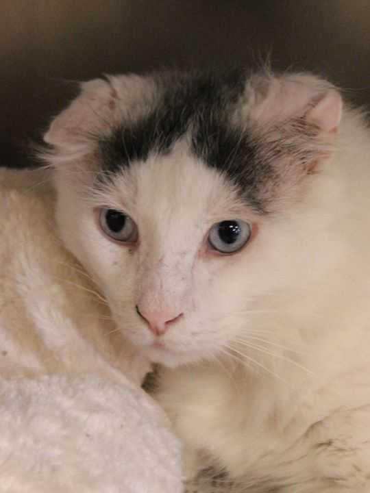 My name is Marshmallow! I am a 4-year-old male DLH. I was rescued as a stray, so not much is known about my history. My ears are a little funny but it doesn't bother me. I am a sweet, easy-going boy. I am not used to other animals, but I get along with other cats if they are quiet and mellow like me. For more information about me, please call, visit, or email the shelter. Buddy Dog Humane Society, Inc. Sudbury, MA (978) 443-6990 or info@buddydoghs.com