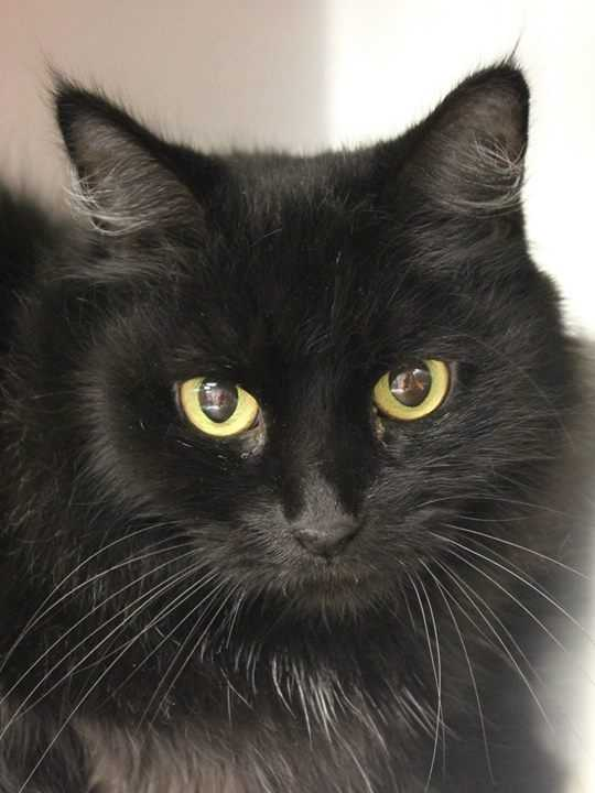 My name is Mischief! I am a 9-year-old female DSH. I am friendly and mellow. For more information about me, please call, visit, or email the shelter. Buddy Dog Humane Society, Inc. Sudbury, MA (978) 443-6990 or info@buddydoghs.com