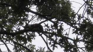 Cat in tree WL