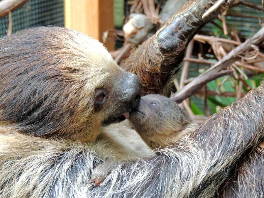 This baby Linne's two-toed sloth was born Aug. 12 to Nero and Lunesta at the Franklin Park Zoo.
