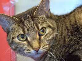 Hi, I'm Dimitri, and I came to the adoption center because my owner is going away to college and she can't keep me. I'm a little nervous here, but I do like attention, if you go slowly and don't startle me. I need to find a forever home where I can relax and be myself, and spend lots of quality time with my human companions. More