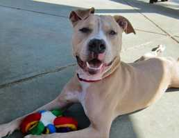 Dudley is an energetic 1 and a half year old Pit Bull mix with the cutest face and silly ears. Surrendered to us because his owner was homeless Dudley is now looking for his forever home. More