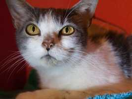 Hi, I'm Erica. I came here because my owner moved to a place that doesn't allow pets. I am a very friendly cat. I love to be petted. When feel your hand on my head I will be purring like crazy, but a very soft purr - listen closely! I am good with older kids. I would like to find a nice home - maybe with you! More