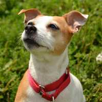 My name's Hazel and I'm a 4 year old, playful chihuahua and I'm looking for my perfect forever home! I'm really sweet and I'd probably fit well into most homes. I also love to play, especially with all of my toys. Did I mention I LOVE my toys? Tennis ball, squeaky toy, I love them all! I might get along with other dogs and cats in your home but I would definitely like to meet them first. More