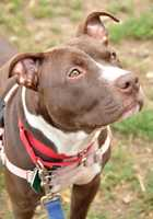 Jelly Bean is a beautiful ten-month-old Pit bull. She is a gorgeous baby with white markings on her face. Jelly Bean would love to be in an active home with older kids and someone home to take her on walks, train her and love her up. She may enjoy other dogs but would need to meet them. Jelly Bean would love to be in a home where she can play with her owners and they play right back. More