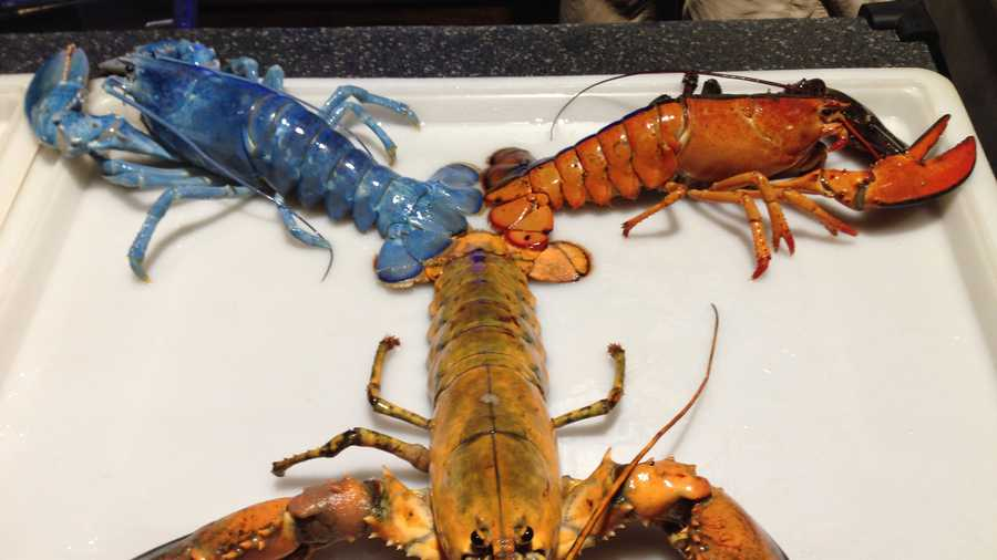 Rare lobster added to Aquarium's rainbow lobster party