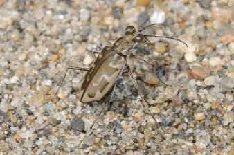 Puritan Tiger Beetle (Cicindela puritana)