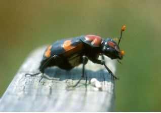 American Burying Beetle (Nicrophorus americanus)
