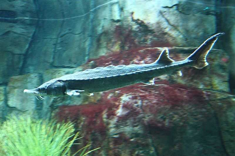 Atlantic Sturgeon  (Acipenser oxyrinchus)
