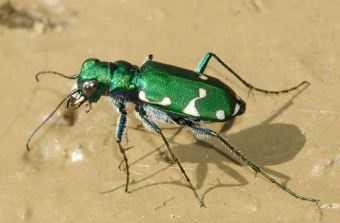 Barrens Tiger Beetle  (Cicindela patruela)