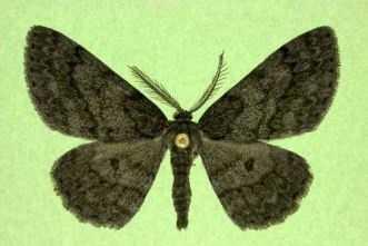 Buchholz's Gray  (Hypomecis buchholzaria)