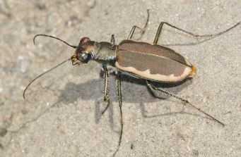 Cobblestone Tiger Beetle (Cicindela marginipennis)