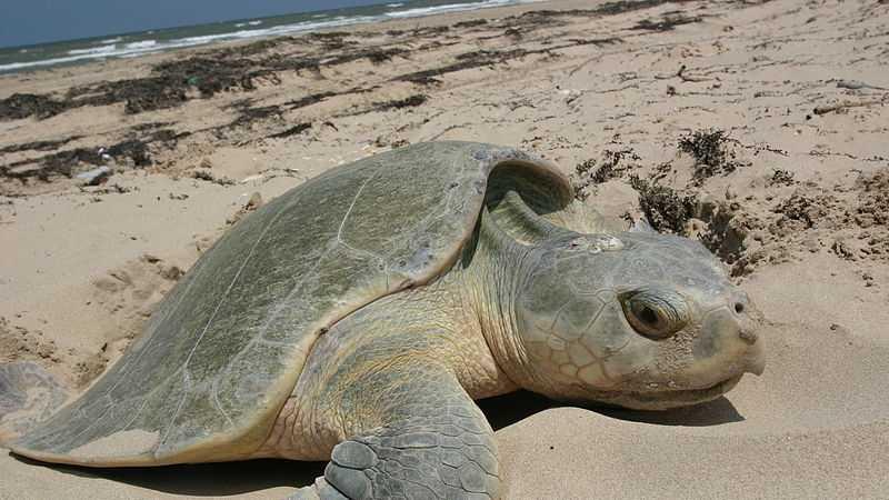 Kemp's Ridley Sea Turtle (Lepidochelys kempii)