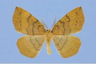 New Jersey Tea Inchworm (Apodrepanulatrix liberaria)