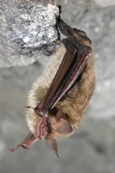 Northern Long-eared Bat (Myotis septentrionalis)