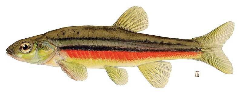 Northern Redbelly Dace (Phoxinus eos)